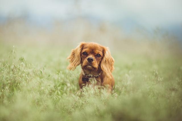 כלב קינג' צ'ארלס